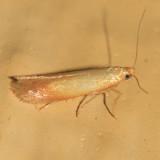 Tischeriidae - Coptotriche sp.