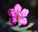 Dianthus sp.