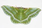 7053 -- Showy Emerald Moth -- Dichorda iradaria