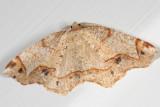 6837 -- Dogwood Probole Moth -- Probole alienaria