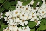 Multiflora Rose - Rosa multiflora
