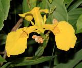 Yellow Iris - Iris pseudacorus
