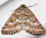 6639-Sharp-lined Powder Moth -- Eufidonia discospilata