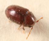 Tricorynus similis