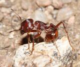Harvester Ant - Pogonomyrmex sp.