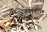 Lasiopogon apache