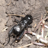 Spring Field Cricket - Gryllus veletis