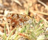 Field Crescent - Phyciodes pulchella