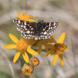 Mountain Checkered-Skipper - Pyrgus xanthus