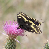 male Baird's Old World Swallowtail - Papilio machaon bairdii