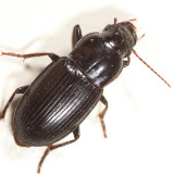 Notiobia mexicana