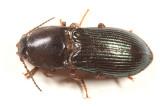 Selatosomus sp.
