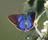 Arizona Hairstreak - Erora quaderna