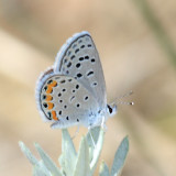 Acmon Blue - Plebejus acmon