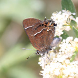 Thicket Hairstreak - Callophrys spinetorum