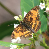 Silvery Checkerspot - Chlosyne nycteis