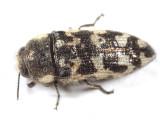 Acmaeodera variegata
