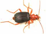 Brachinus mexicanus