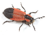 Pelonides humeralis