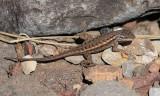 Plateau Fence Lizard - Sceloporus tristichus