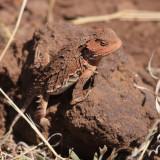 Greater Short-horned Lizard - Phrynosoma hernandesi