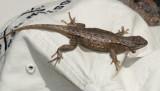 Southwestern Fence Lizard - Sceloporus cowlesi