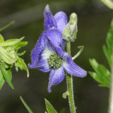 Western Monkshood - Aconitum columbianum