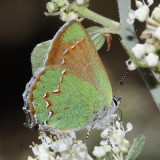 Canyon Bramble Hairstreak - Callophrys dumetorum apama