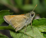Tawny-edged Skipper - Polites themistocles