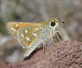 Nevada Skipper - Hesperia nevada