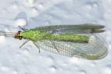 Chrysopa oculata