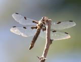 Hoary Skimmer - Libellula nodisticta