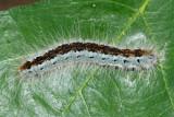 7702 - Western Tent Caterpillar - Malacosoma californicum