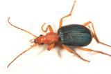 Brachinus favicollis