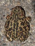 California Toad - Anaxyrus boreas halophilus
