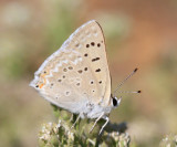 Great Copper - Lycaena xanthoides