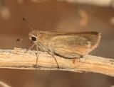 Eufala Skipper - Lerodea eufala
