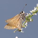 Alkali Skipper - Pseudocopaeodes eunus