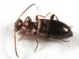 Ischyropalpus nitidulus