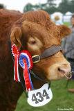 Champion Limousin Bull