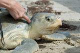 Texas Sea Turtles