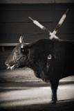 Bull and Banderillas