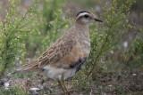 Eurasian Dotterel - Charadrius morinellus - Morinelplevier