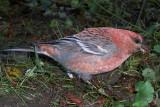 Pine Grosbeak - Pinicola enucleator