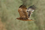 Steppe Eagle ( Aquila nipalensis )