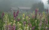 Foxglove Field In The Fog