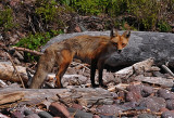 Temperance River Fox 1 (Temporary Placement)