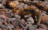 Temperance River Fox 2 (Temporary Placement)