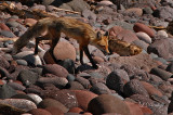 Temperance River Fox 3 (Temporary Placement)