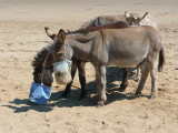 Donkeys on the Beach at Scarborough.